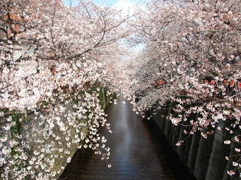 120406中目黒桜 (20)_S.JPG